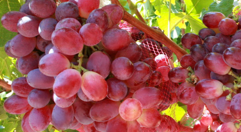 Our current products exsa pty ltd - Seedless grape cultivars ...